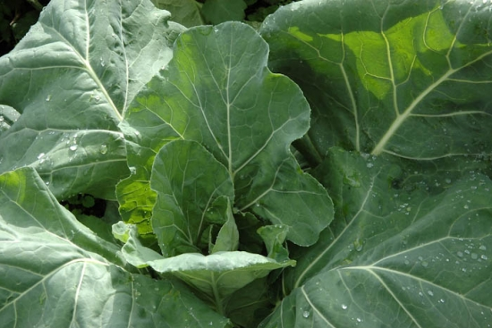 Collards for Haters